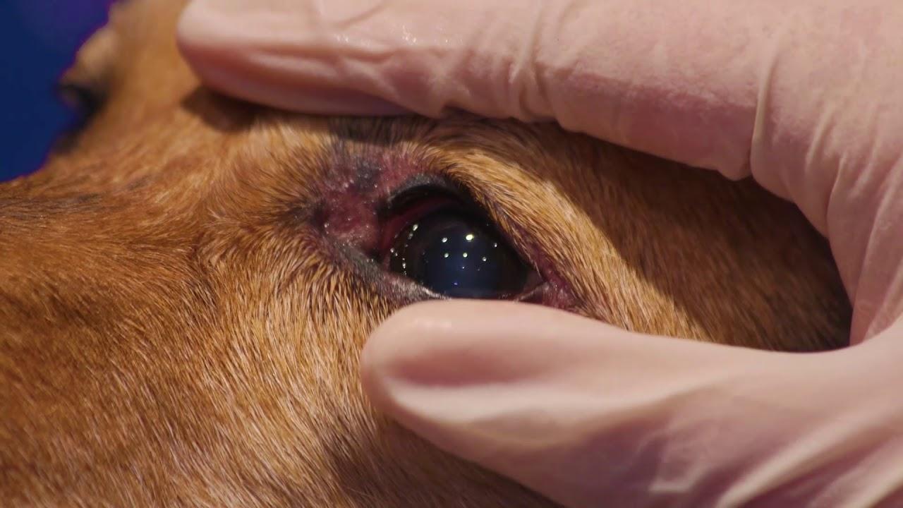 How to clean a dog\u0026#39;s eyes - YouTube