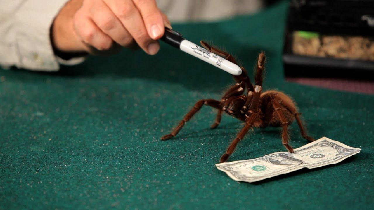 Are Tarantulas Poisonous Pet Tarantulas Youtube