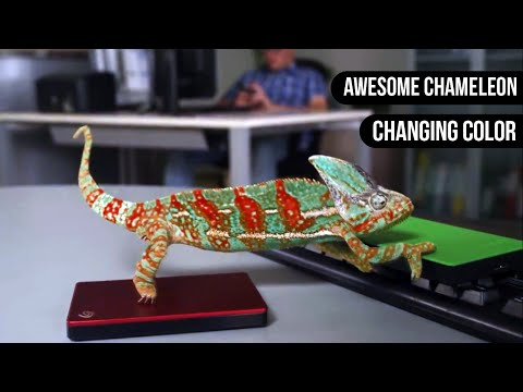 Chameleon Changing Color    Animals are Awesome