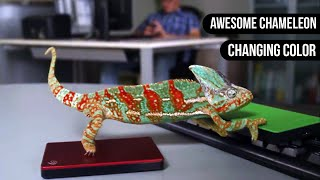 Chameleon Changing Color || Animals are Awesome