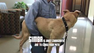 Simba, A 2-year-old Lab Retriever Mix Available For Adoption At The Wisconsin Humane Society