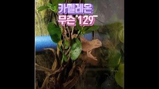 팬서카멜레온 산란 5 3