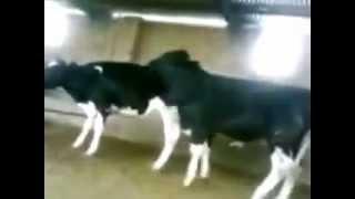 Cow fail - Vaca Fail