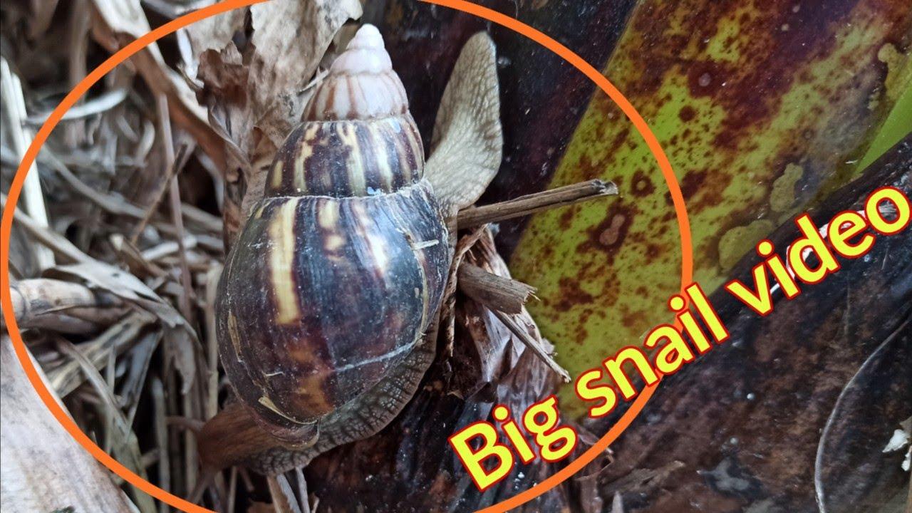 बड़ा घोंगा का वीडियो || Big snail video || #Shorts #Short video
