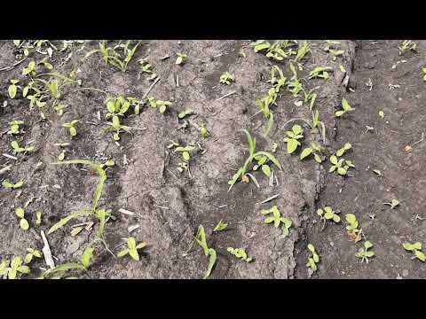 Кукуруза повторная гербицидная обработка