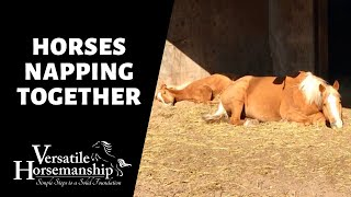 HORSES NAPPING TOGETHER // Versatile Horsemanship