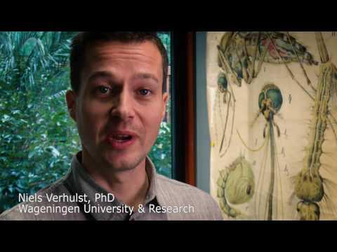 Using Mosquitoes to Prevent Epidemics | Wageningen University & Research