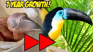 How a Baby Toucan Grows Up! (Egg to 1 Year) EXTENDED