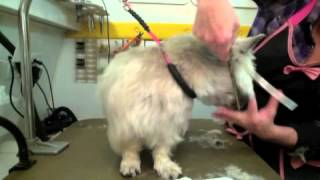 "Dog Grooming Instructional Video, By: Robin Lee, Mobile Dog Grooming ""annie"" (part 2) Cairn Terrier"