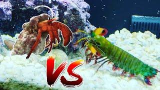 Giant Mantis Shrimp vs Giant Hermit Crab!