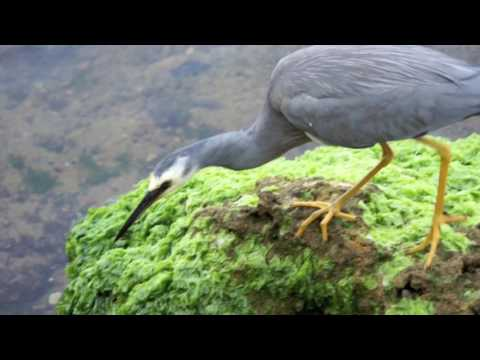 Things to see in Perth - White Faced Heron