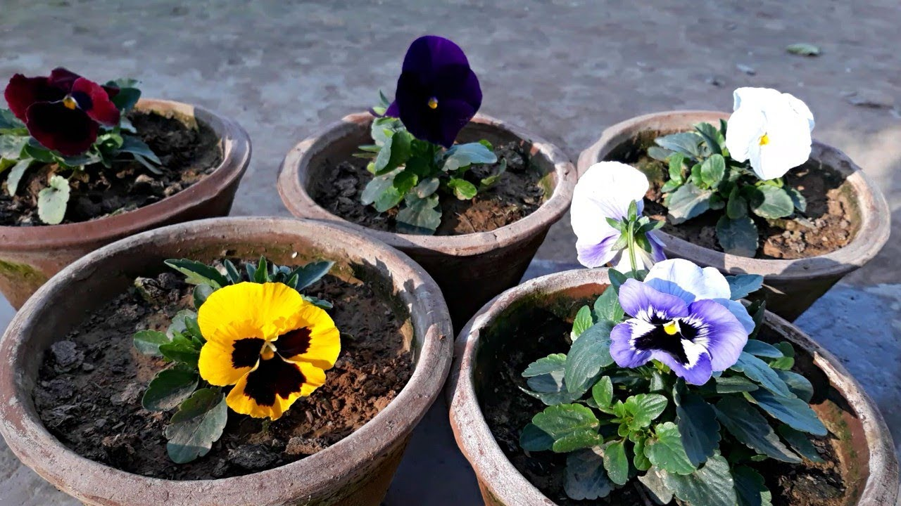 Care Pansy Flower Plant Hindi Youtube