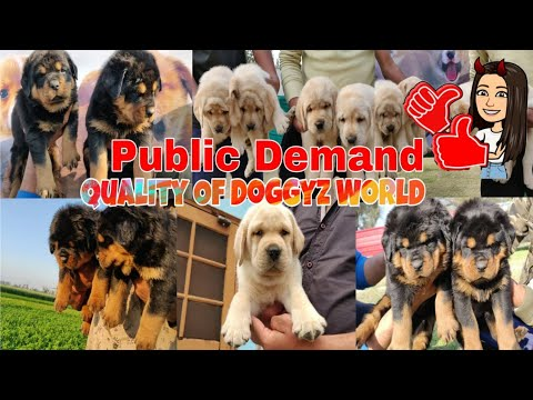 Rottweiler German Shepherd Labrador French Mastiff  Husky – Doggyz World