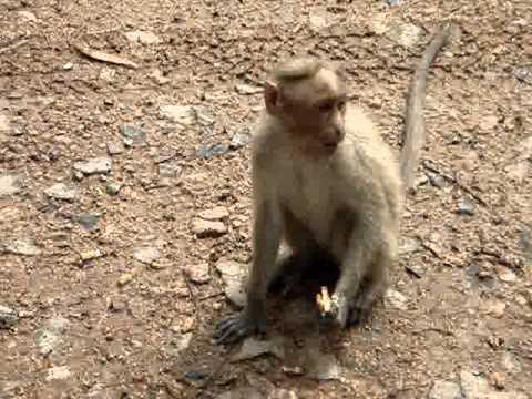 Monkey eats Parle-G -- #2