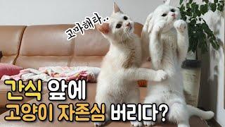 [애교 맛집 고양이] 간식 앞에서 고양이 자존심 다 버…