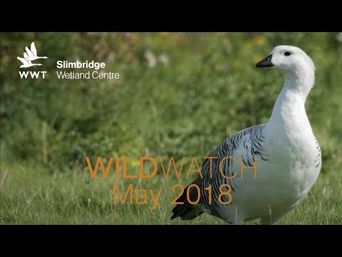 WWT WildWatch Slimbridge - May 2018