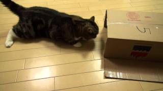 どうしても入りたいねこ。-Maru loves box too much. -