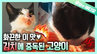 What Kind of Cat Life it is if I Can't Have Kimchi!!!🔥