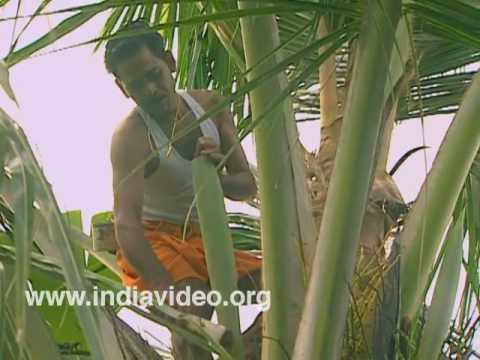Toddy Tapping Country Liquour Organic Palm Liquour Youtube