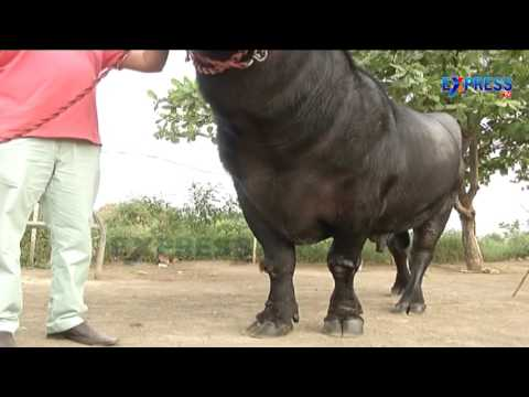 Organic Dairy    High milk yielding Murra buffaloes, Cows   NRI Mukkamala Koteswara Rao   Express TV