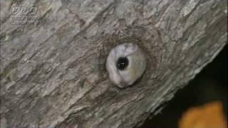 木登り名人えぞモモンガ mov木の中で眠るモモンガ thumbnail