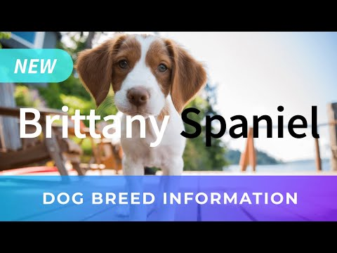 Brittany Spaniel Information and Pictures - Chews A Puppy