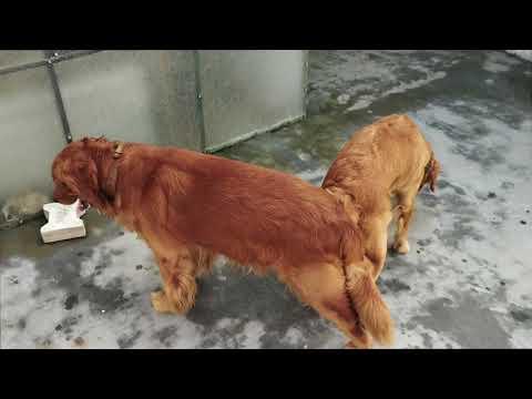 Pet Care - Golden Retriever Mating - Bhola Shola