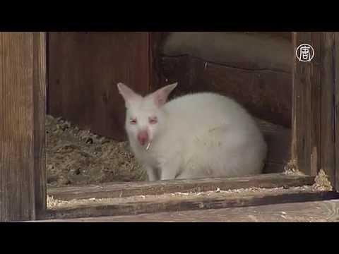 Ярославский зоопарк переживает бэби-бум альбиносов (новости)
