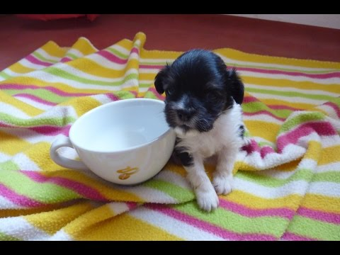 Howl Of A Dog - TINY PUPPY GROWING UP TIMELAPSE. Newborn to 8 Weeks - Cuteness Overload