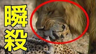 ライオンVSチーター 油断したチーターはライオンに瞬殺される・・・ 【...