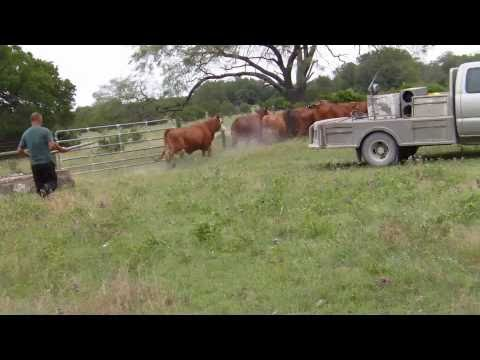 Stubborn Wild Cattle