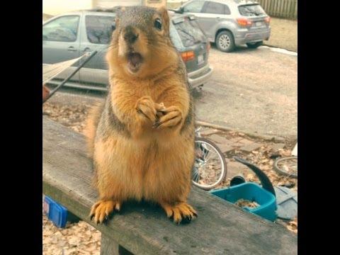 Professional Squirrel Translator (Grateful Talking Squirrel) ORIGINAL!
