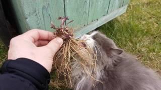 Реакция кота на корень валерианы