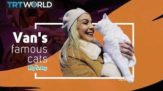 Mi Turquía: los gatos Van turcos muy especiales