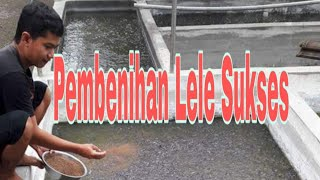 Download Video Pembenihan Lele Sukses - (Vlog) MP3 3GP MP4