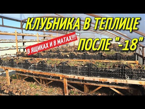 КЛУБНИКА В ТЕПЛИЦЕ ПОСЛЕ МИНУС 18!!!Клубника зимой в теплице.