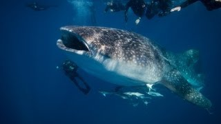 Scuba Diving with a Whale Shark in Pompano Beach, Florida with Pompano Dive Center