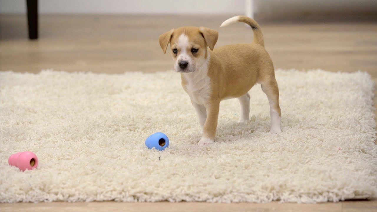 Little Puppy Toys : Kong puppy toys youtube