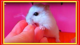 Tiny Hamster || JessLife - Хома онлайн || Канал про хомяка