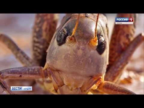 В Крыму объявилась мароккская перелётная саранча