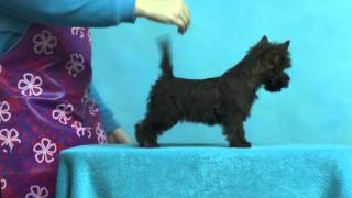 Cairn Terrier Pup. 2 Month Dark Brindle Female.