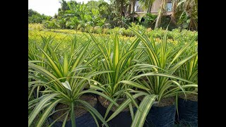 Golden Pandanus Plants Propagation Process