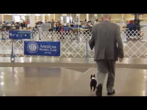 Best of Breed at Hawkeye Boston Terrier Club Specialty Show 2015