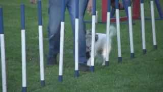 Agility Dog Training Bungay Suffolk And Norfolk