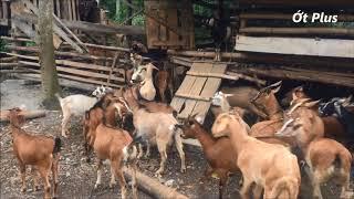 Đàn dê ăn - Hơn 100 con dê ăn muối - Dê đi rừng kiếm ăn