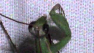 Smells like teen mantis.wmv