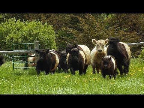 06/05/19 Belted Galloways At Philo Ridge Farm & Wilcox Premium Ice Cream On Across The Fence