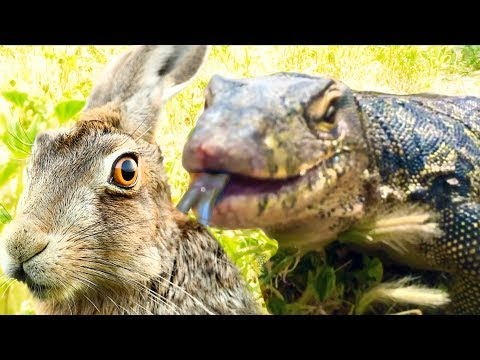 Lizard Finds Rabbit Hiding, Eats Rabbit
