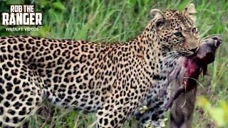 Leopard Catches Baby Warthog   African Safari Action