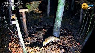🦊 Lis w karmisku w lesie na Podkarpaciu